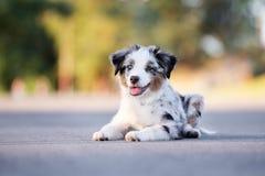 Miniature australian shepherd puppy outdoors in summer stock image