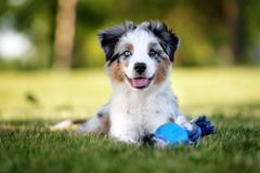 Miniature australian shepherd puppy outdoors in summer. Miniature australian shepherd puppy outdoors stock images