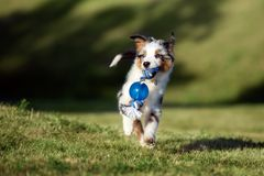 Miniature australian shepherd puppy running outdoors in summer. Miniature australian shepherd puppy outdoors stock photos