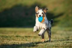 Miniature australian shepherd puppy running in summer stock image