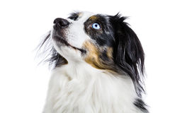 Miniature Australian Shepherd Stock Image