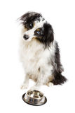 Miniature Australian Shepherd Royalty Free Stock Image
