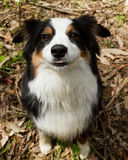Miniature Australian Sheppard. Sitting and watching Royalty Free Stock Images