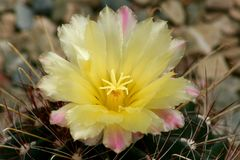 Miniature barrel cactus flower Royalty Free Stock Photography