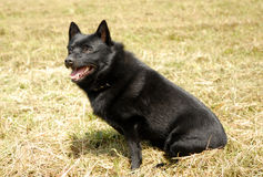 Miniature belgian shepherd dog Stock Photography