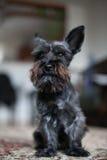 Miniature black schnauzer dog. Black mini schnauzer dog sitting on a carpet royalty free stock photos