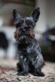Miniature black schnauzer dog. Black mini schnauzer dog sitting on a carpet royalty free stock photography