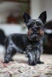 Miniature black schnauzer dog. Black mini schnauzer dog standing on a carpet stock photos