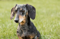Miniature Black and Tan Dapple Dachshund. Senior Miniature Black and Tan Dapple Dachshund in grassy field stock photos