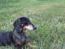 Miniature Black and Tan Dapple Dachshund. Senior Miniature Black and Tan Dapple Dachshund in grassy field royalty free stock photography