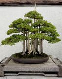 Miniature Bonsai forest Royalty Free Stock Image