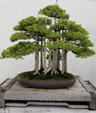 Miniature Bonsai forest Stock Images