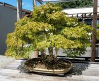 Miniature Bonsai maple tree Stock Photography