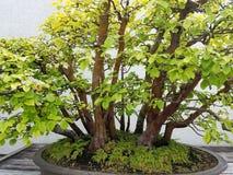 Miniature Bonsai quince tree Stock Image