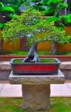 Miniature bonsai tree stock photo