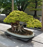 Miniature Bonsai tree Royalty Free Stock Photography