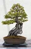 Miniature Bonsai tree Stock Images