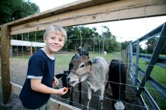 Miniature Brahma Bull. A photo of a Miniature Brahma Bull and a 5 years old boy Royalty Free Stock Photography