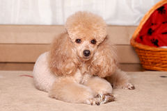 Miniature brown poodle resting Stock Image
