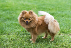 Miniature brown spitz on the green field. Miniature spitz on the green field Royalty Free Stock Images