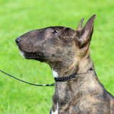Miniature Bull Terrier Stock Photography