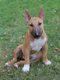 Miniature Bull Terrier on a green grass lawn Stock Photo