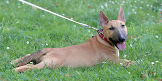 Miniature Bull Terrier on a green grass lawn Royalty Free Stock Images