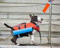 Miniature bull terrier in his swim vest Royalty Free Stock Photos