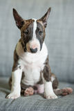 Miniature Bull Terrier. Mini Bull Terrier breed puppy sitting on the couch Royalty Free Stock Photos