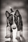 Miniature Bull Terrier. Small breed puppy Miniature Bull Terrier Stock Photos