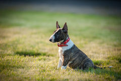 Miniature Bull Terrier. Small breed puppy Miniature Bull Terrier on grass Royalty Free Stock Photo