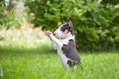 Miniature Bull Terrier. Small breed puppy miniature bull terrier on the grass Royalty Free Stock Photo