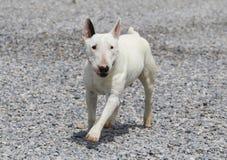 Miniature bull terrier walking in the rocks Stock Photo