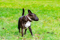 Miniature Bull Terrier. Young energetic dog walks in the meadow. royalty free stock photo