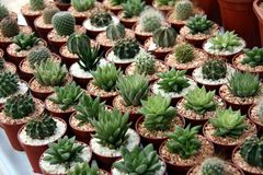 Miniature cacti. Selection of miniature cacti in small pots in rows Stock Photo