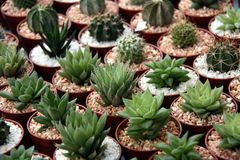 Miniature cacti. Selection of miniature cacti in small pots in rows Royalty Free Stock Photography