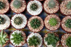 Miniature cacti. Selection of miniature cacti in small pots in rows Royalty Free Stock Images