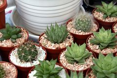 Miniature cacti. Selection of miniature cacti in small pots in rows Royalty Free Stock Image