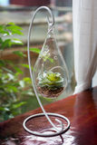 Miniature cactus succulent plant in a glass vase Royalty Free Stock Photo