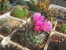 Free Miniature Cactus Turbinicarpus Roseiflorus With Flowers Royalty Free Stock Images - 178112079