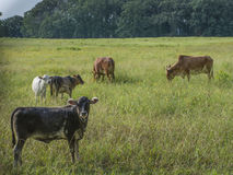 Miniature Cattle Herd Stock Photography