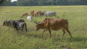 Miniature Cattle Herd Royalty Free Stock Photos