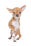 Miniature Chihuahua Stock Photography