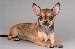 Miniature chihuahua dog Stock Photography