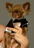 Miniature Chihuahua Groom.jpg. Miniature Chihuahua Groom ready for the big day Royalty Free Stock Photos