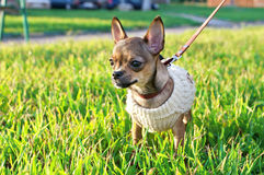 Miniature chihuahua puppy  wearing knitted jacket Royalty Free Stock Photos
