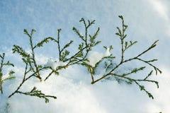 Miniature coniferous plant in winter. stock photo