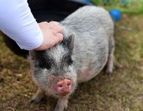Miniature cute pig being pet royalty free stock images