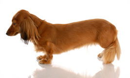 Miniature dachshund. Miniature long haired dachshund standing from the side view Royalty Free Stock Photo
