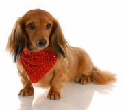 Miniature dachshund Stock Photo